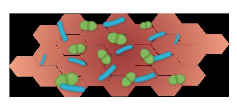 grafik_hautzellen_antimikrobiell_entzuendet_Zeichenfläche 1